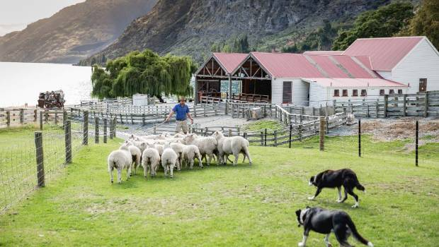 Watch sheep herding and shearing at Walter Peak.