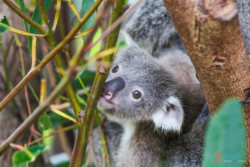 Baby koala at Australia Zoo, Queensland, Australia