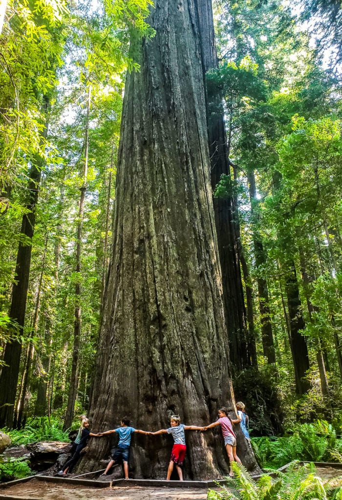 Founders Tree, Humboldt Redwoods State Park, California