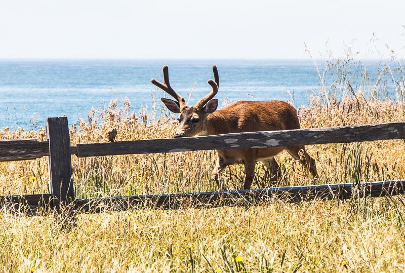 Deer along the Lost Coast, California