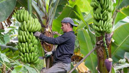 Banana is the main crop in Tenerife