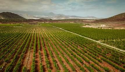 Vineyards in Tenerife