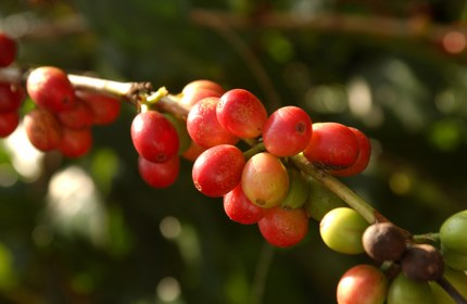 Kona coffee, Hawaii