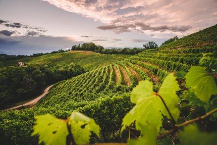 A vineyard in Friuli Venezia Giulia, Italy