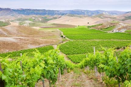 Vineyards in Cirò, a commune in Calabria