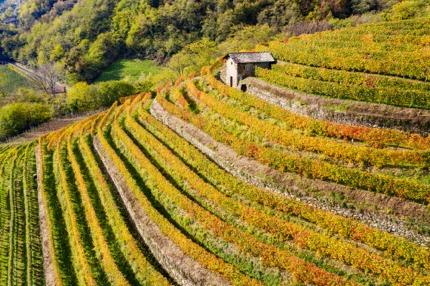 Terraced vineyards in Valtellina, Lombardy