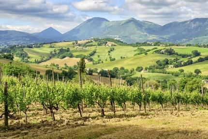 Vineyards near Camerino, Le Marche