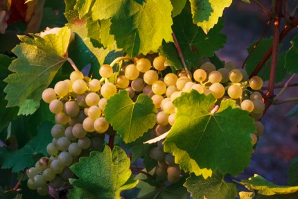 Verdicchio grapes in Matelica, Le Marche
