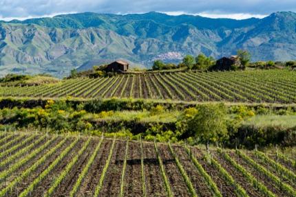 Vineyards on the slopes of Mt Edna