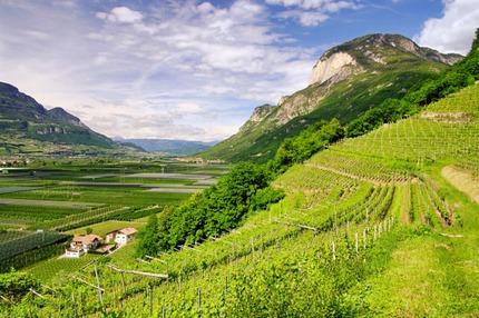 Vineyards in Trentino, Italy