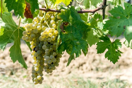 Vernaccia grapes