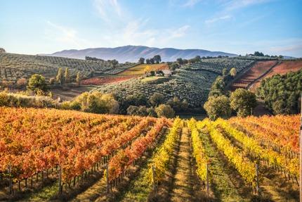 Vineyards in Montefalco, Umbria