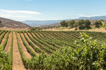 A vineyard in Temecula Valley
